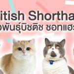 แมว บิชติช ชอทแฮร์